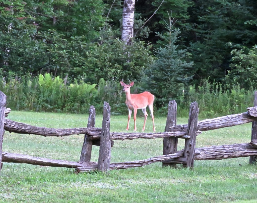 7-30-16-old-mt-t-village-deer-are-everywhere-c